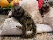 NHS Pairs Capuchin pygmy marmoset available 07031956739